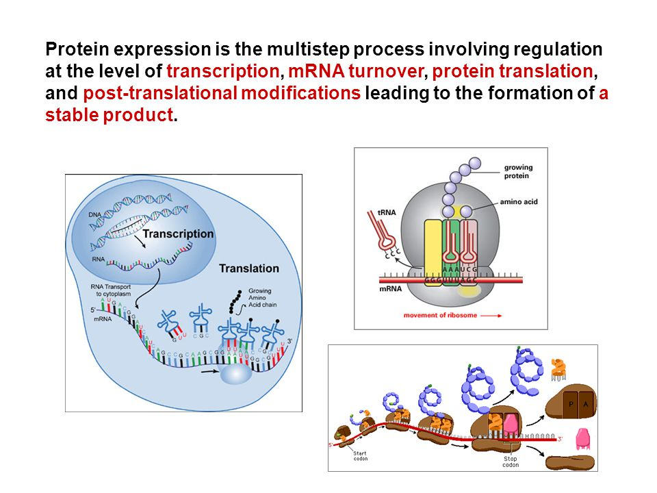 Protein expression is the multistep process involving regulation at the level of transcription, mRNA turnover, protein translation, and post-translational modifications leading to the formation of a stable product.