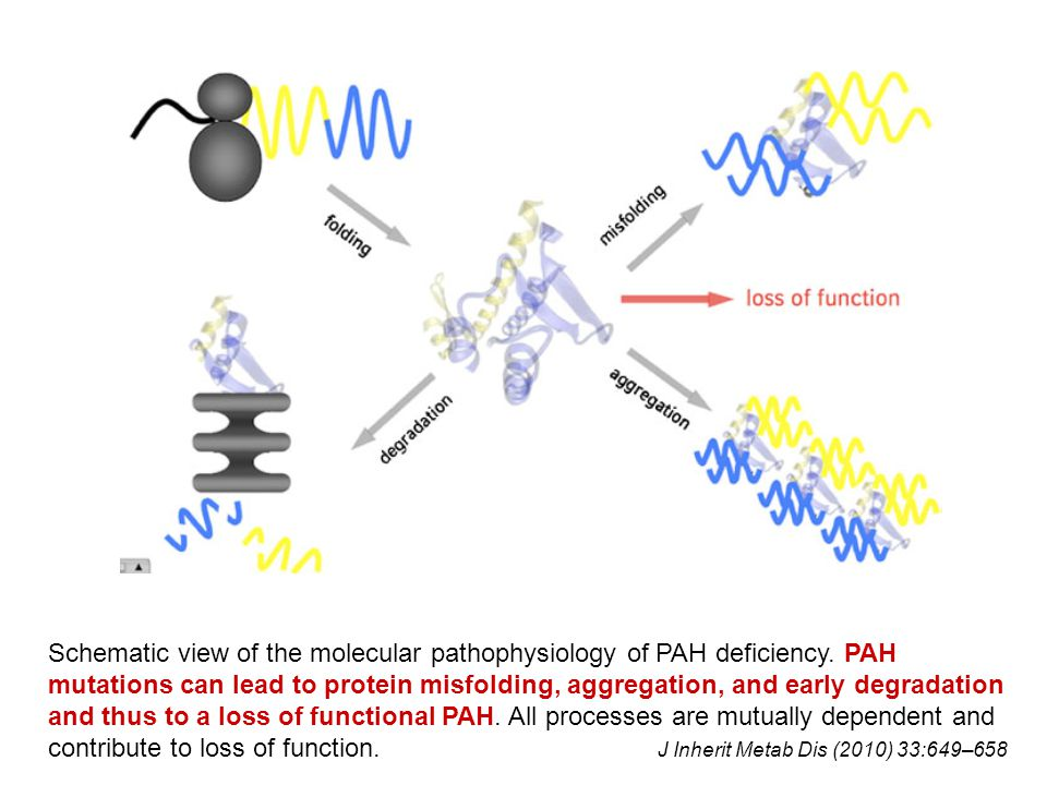 Schematic view of the molecular pathophysiology of PAH deficiency