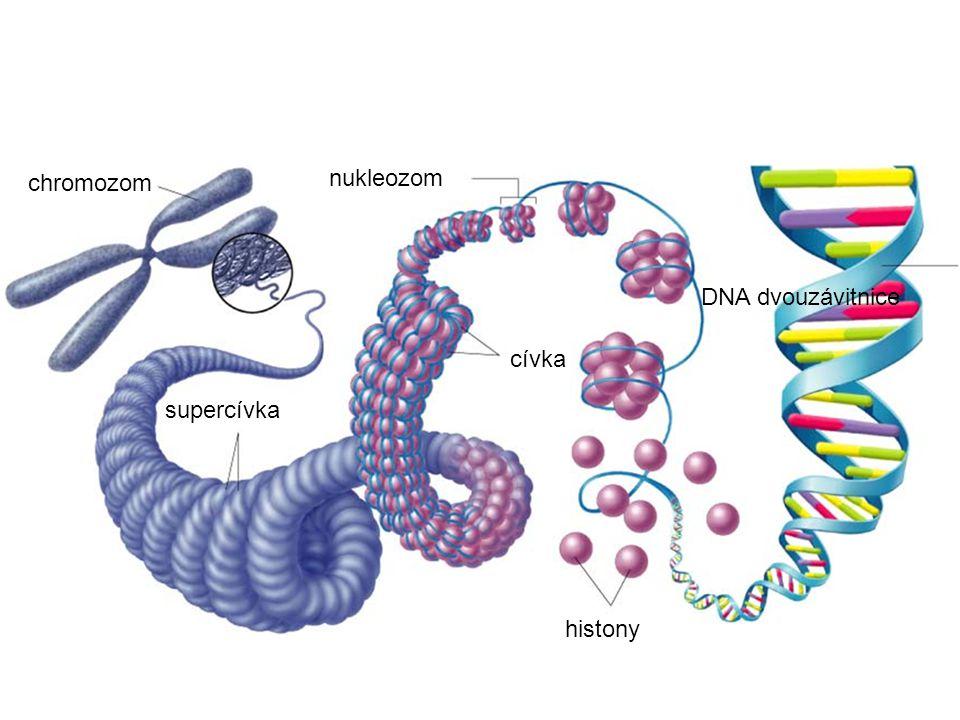 nukleozom chromozom DNA dvouzávitnice cívka supercívka histony