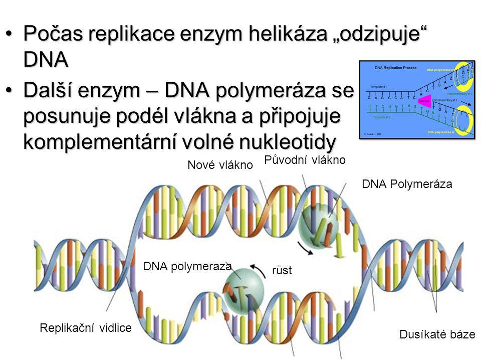 "Počas replikace enzym helikáza ""odzipuje DNA"