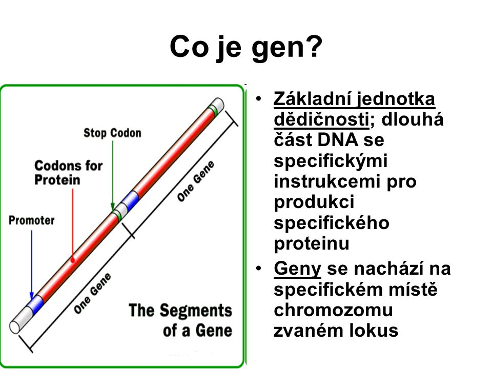 Co je gen Základní jednotka dědičnosti; dlouhá část DNA se specifickými instrukcemi pro produkci specifického proteinu.