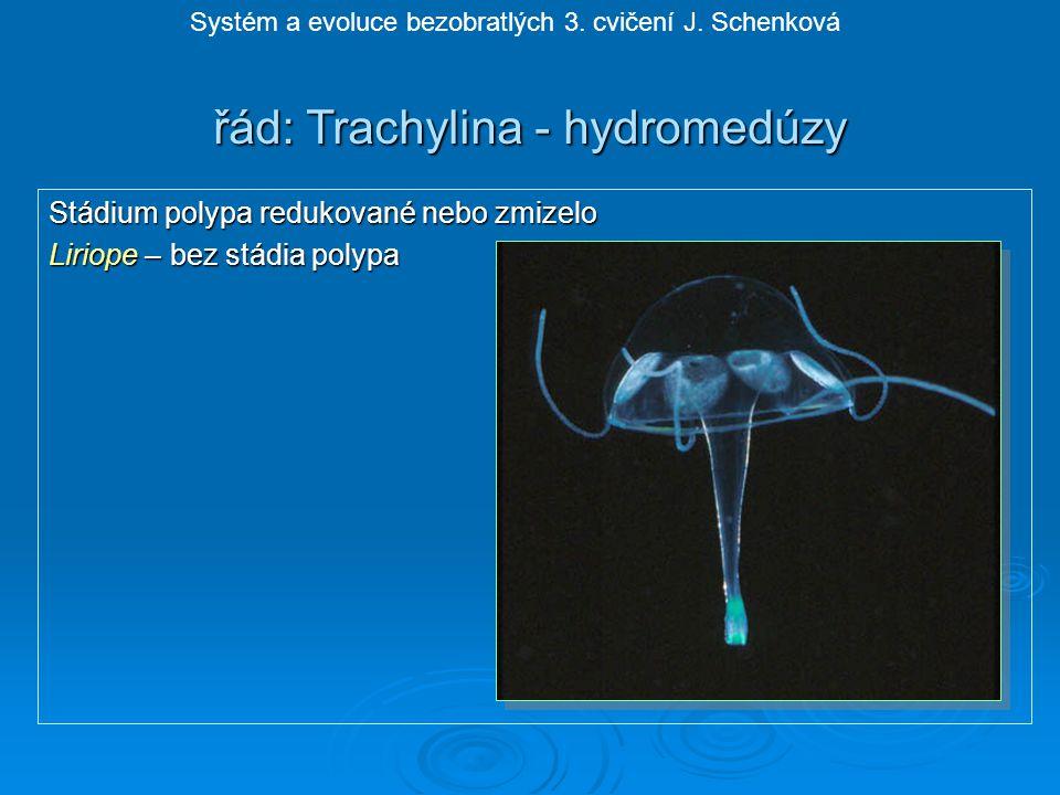řád: Trachylina - hydromedúzy