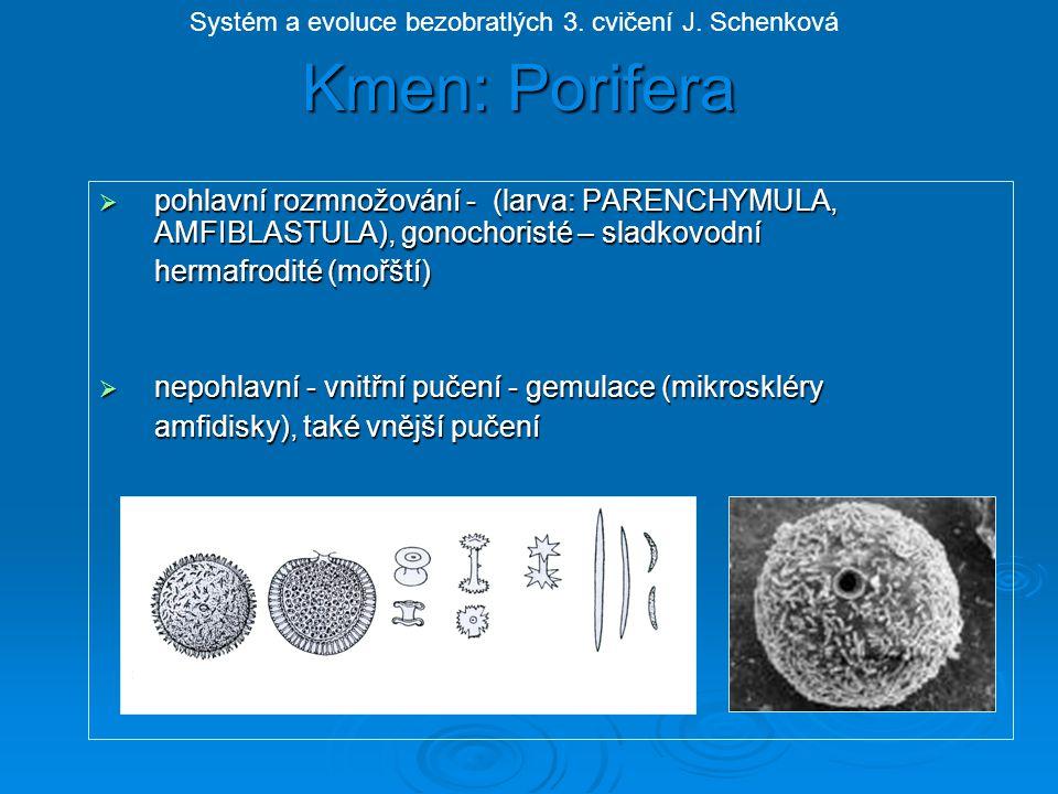 Kmen: Porifera Systém a evoluce bezobratlých 3. cvičení J. Schenková.