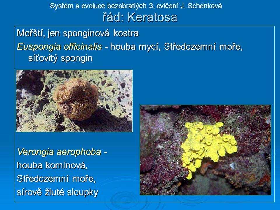 řád: Keratosa Mořští, jen sponginová kostra