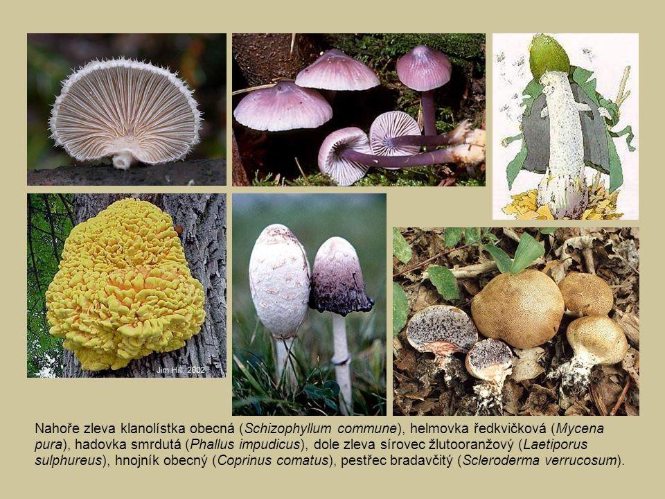 Nahoře zleva klanolístka obecná (Schizophyllum commune), helmovka ředkvičková (Mycena pura), hadovka smrdutá (Phallus impudicus), dole zleva sírovec žlutooranžový (Laetiporus sulphureus), hnojník obecný (Coprinus comatus), pestřec bradavčitý (Scleroderma verrucosum).