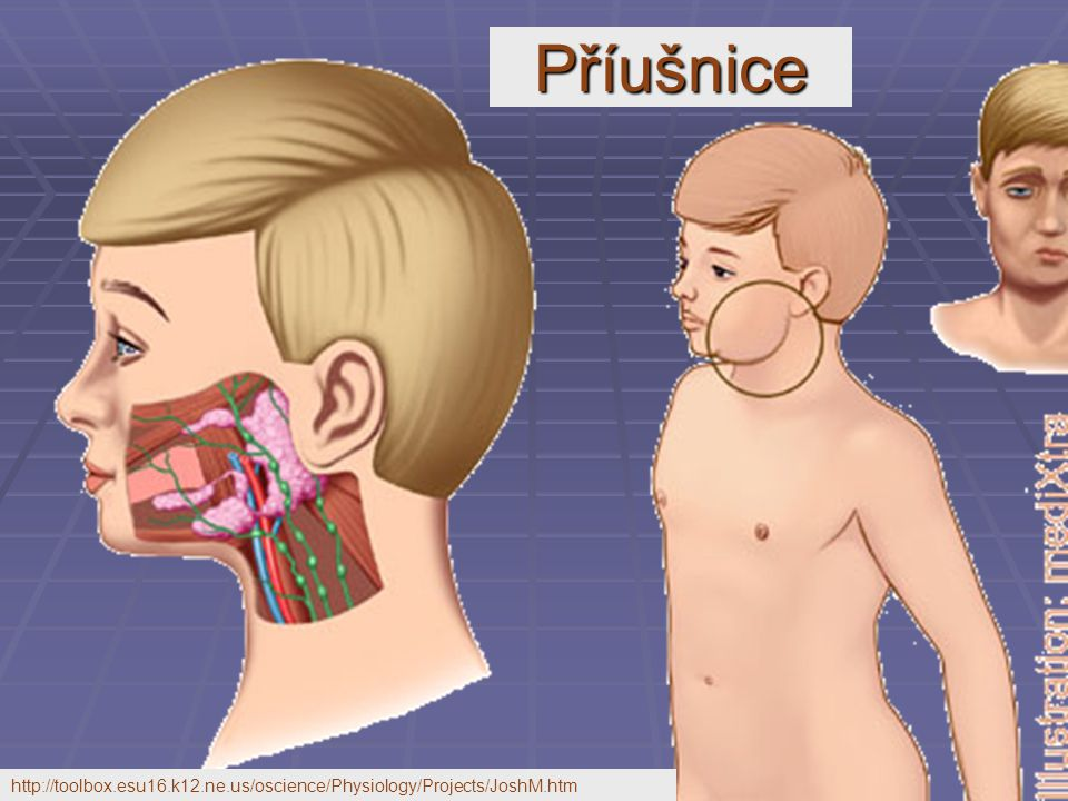 Příušnice http://toolbox.esu16.k12.ne.us/oscience/Physiology/Projects/JoshM.htm