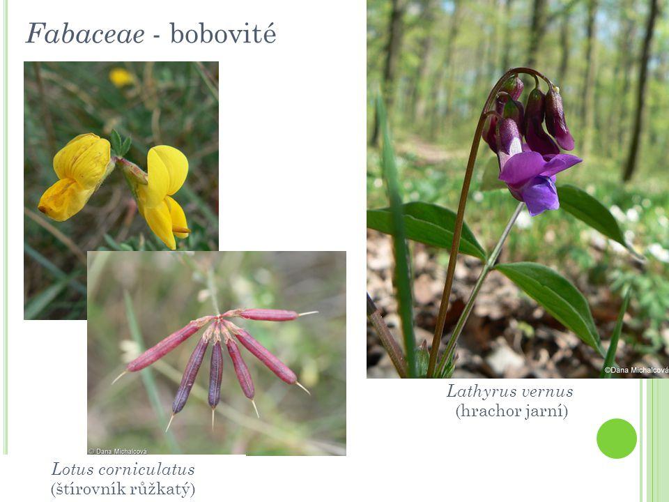 Fabaceae - bobovité Lathyrus vernus (hrachor jarní) Lotus corniculatus