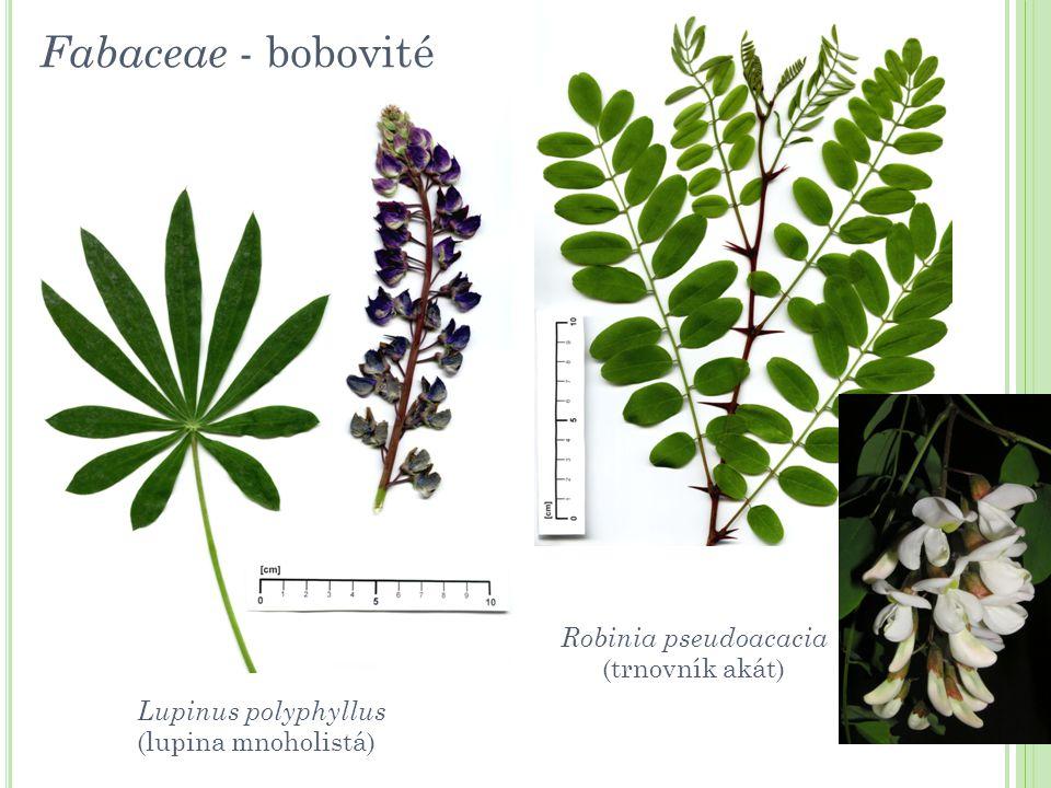 Fabaceae - bobovité Robinia pseudoacacia (trnovník akát)