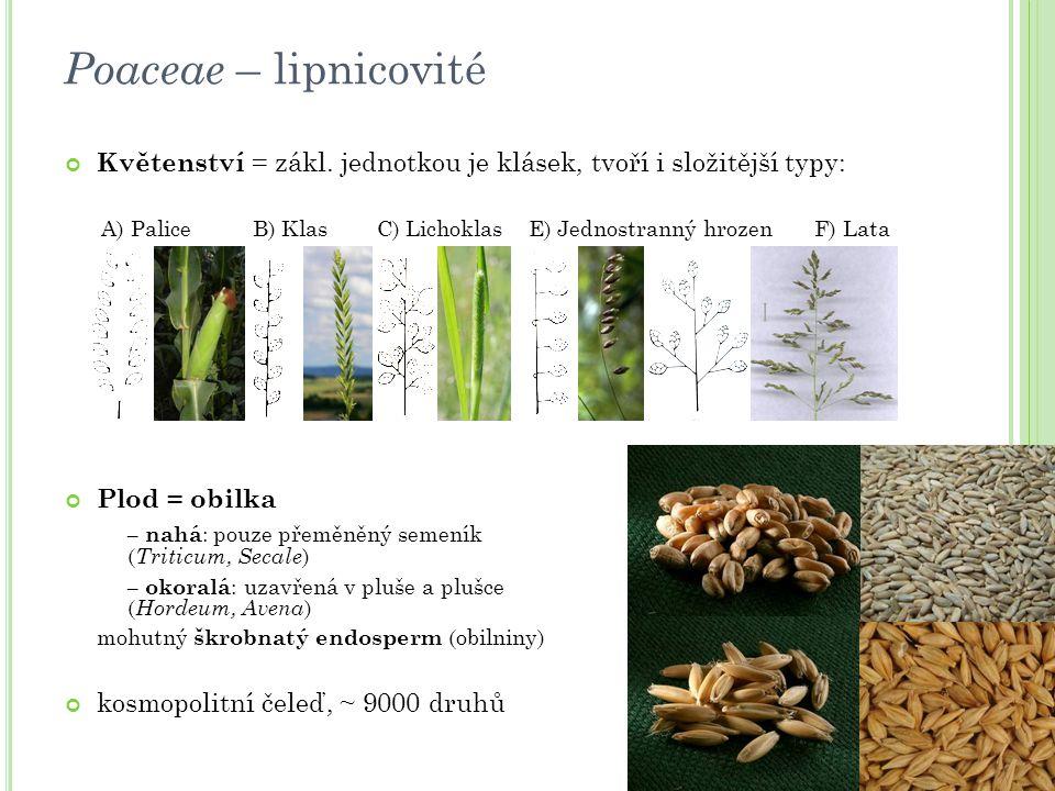 Poaceae – lipnicovité Květenství = zákl. jednotkou je klásek, tvoří i složitější typy: