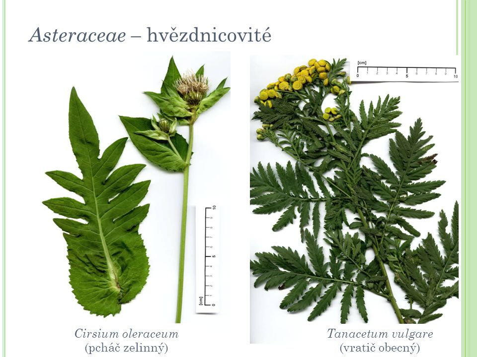 Asteraceae – hvězdnicovité