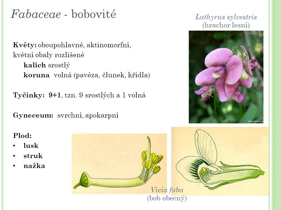 Fabaceae - bobovité Lathyrus sylvestris (hrachor lesní)