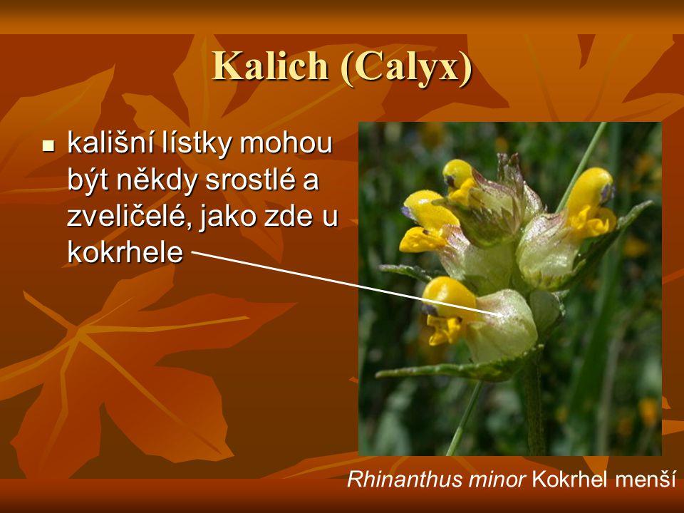 Kalich (Calyx) kališní lístky mohou být někdy srostlé a zveličelé, jako zde u kokrhele.