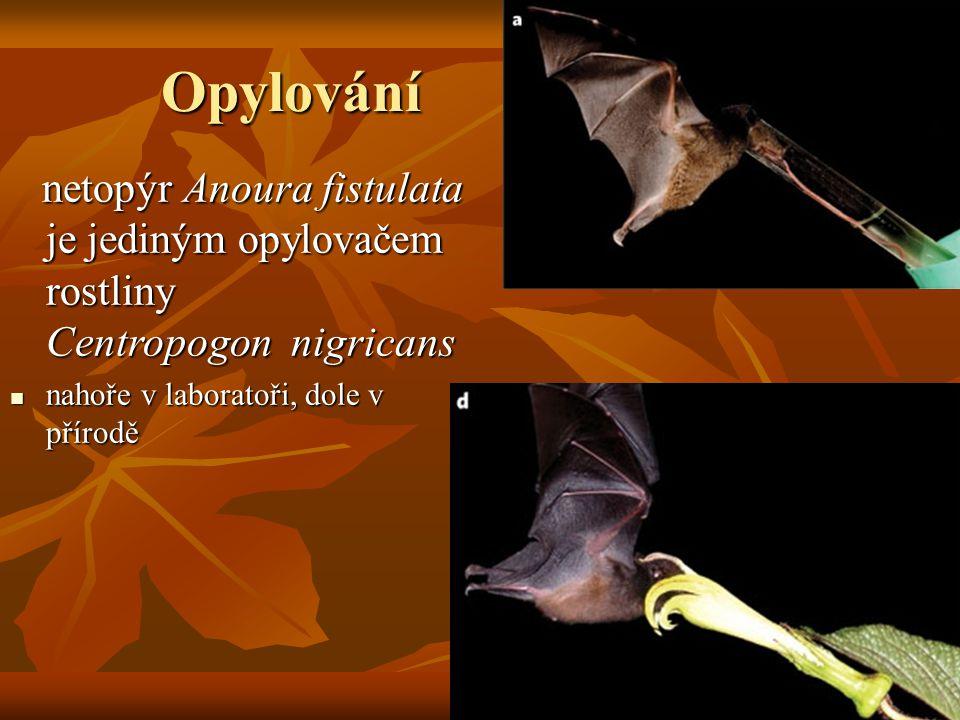 Opylování netopýr Anoura fistulata je jediným opylovačem rostliny Centropogon nigricans.