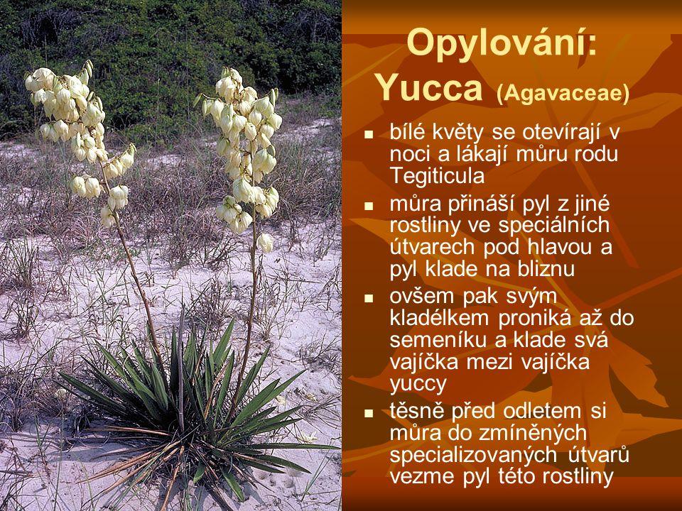 Opylování: Yucca (Agavaceae)