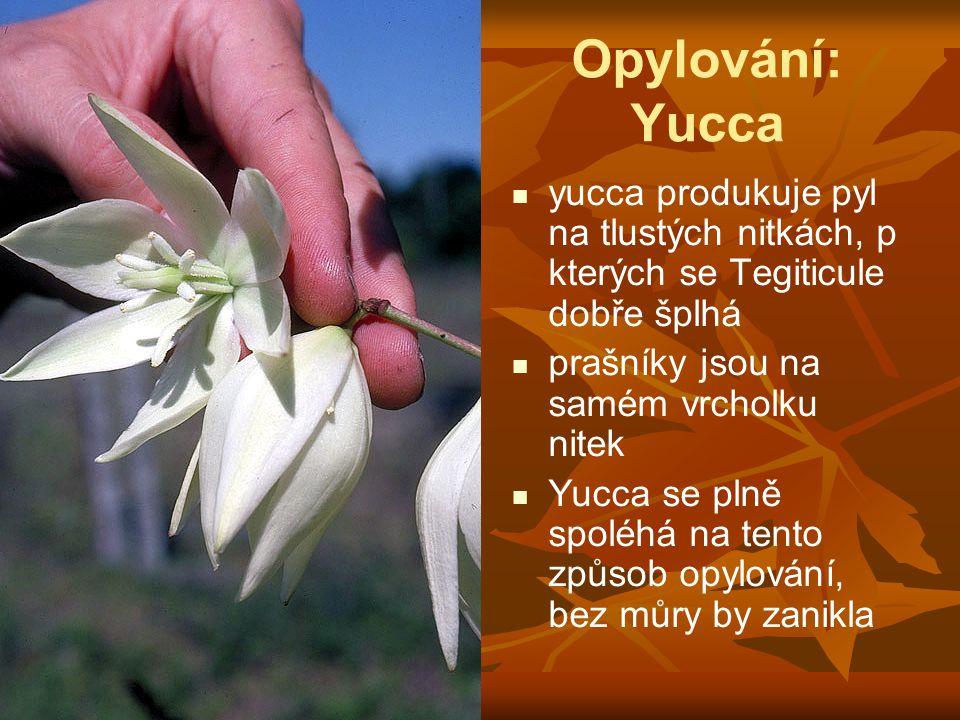 Opylování: Yucca yucca produkuje pyl na tlustých nitkách, p kterých se Tegiticule dobře šplhá. prašníky jsou na samém vrcholku nitek.