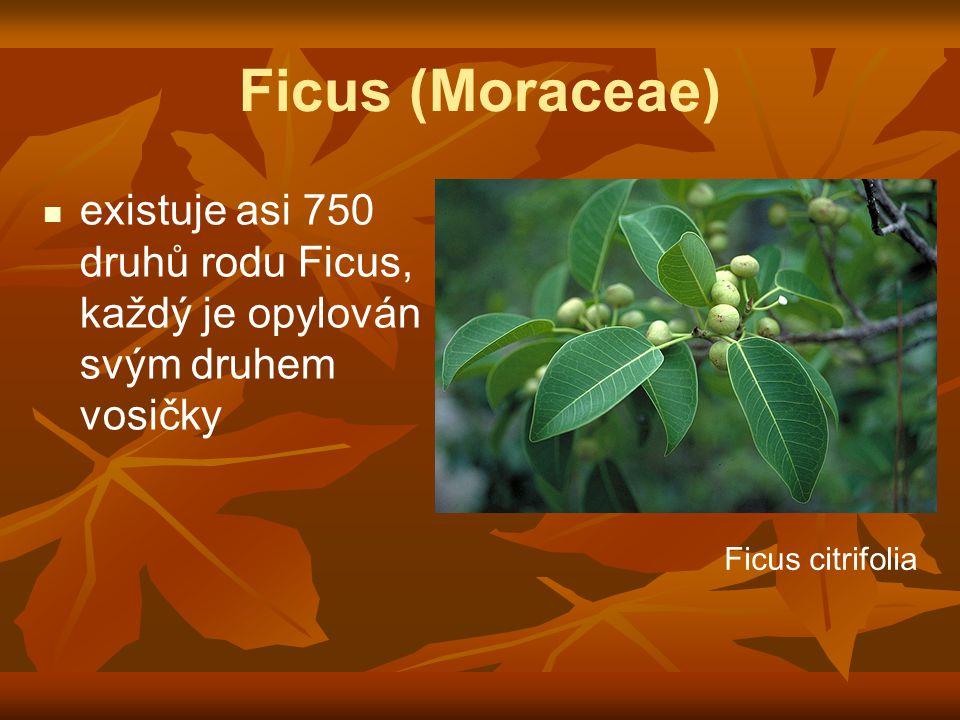 Ficus (Moraceae) existuje asi 750 druhů rodu Ficus, každý je opylován svým druhem vosičky.