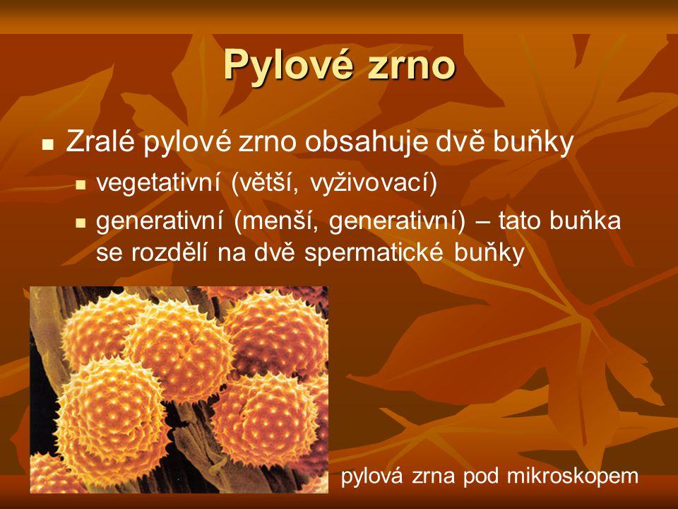 Pylové zrno Zralé pylové zrno obsahuje dvě buňky