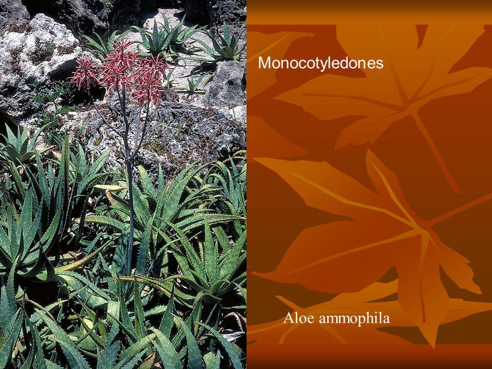 Monocotyledones Aloe ammophila