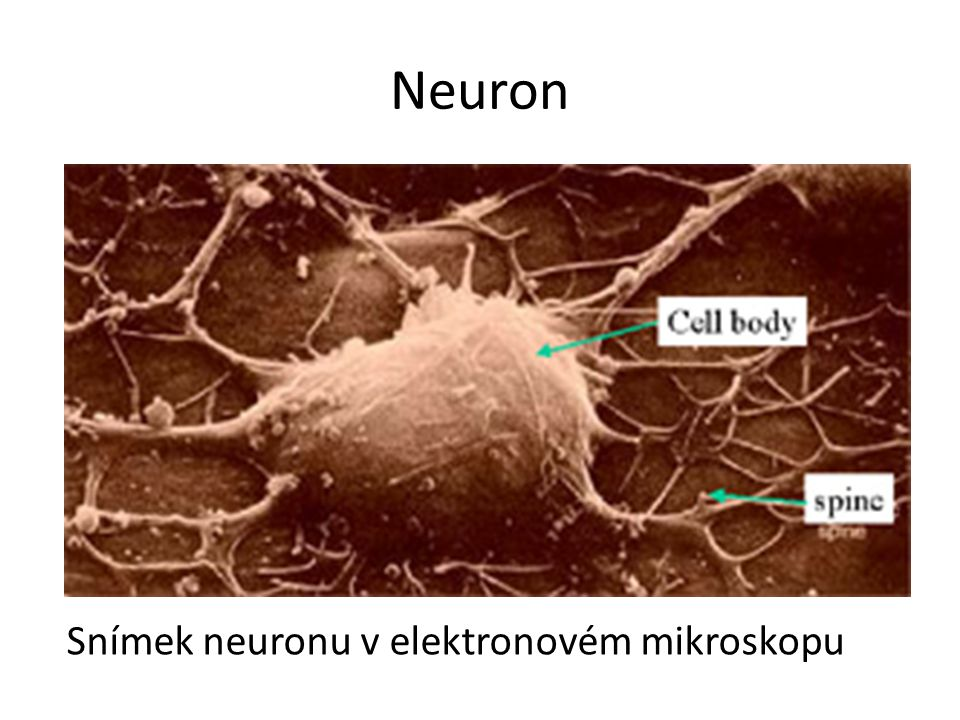 Neuron Snímek neuronu v elektronovém mikroskopu