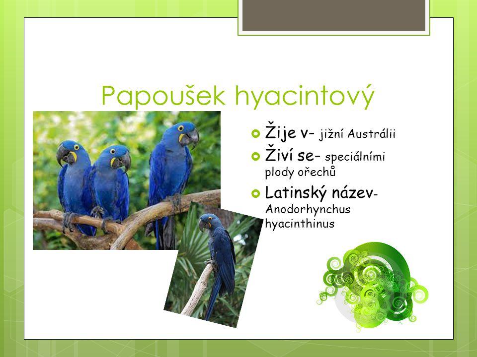Papoušek hyacintový Žije v- jižní Austrálii