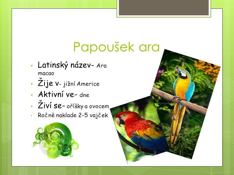 Papoušek ara Latinský název- Ara macao Žije v- jižní Americe