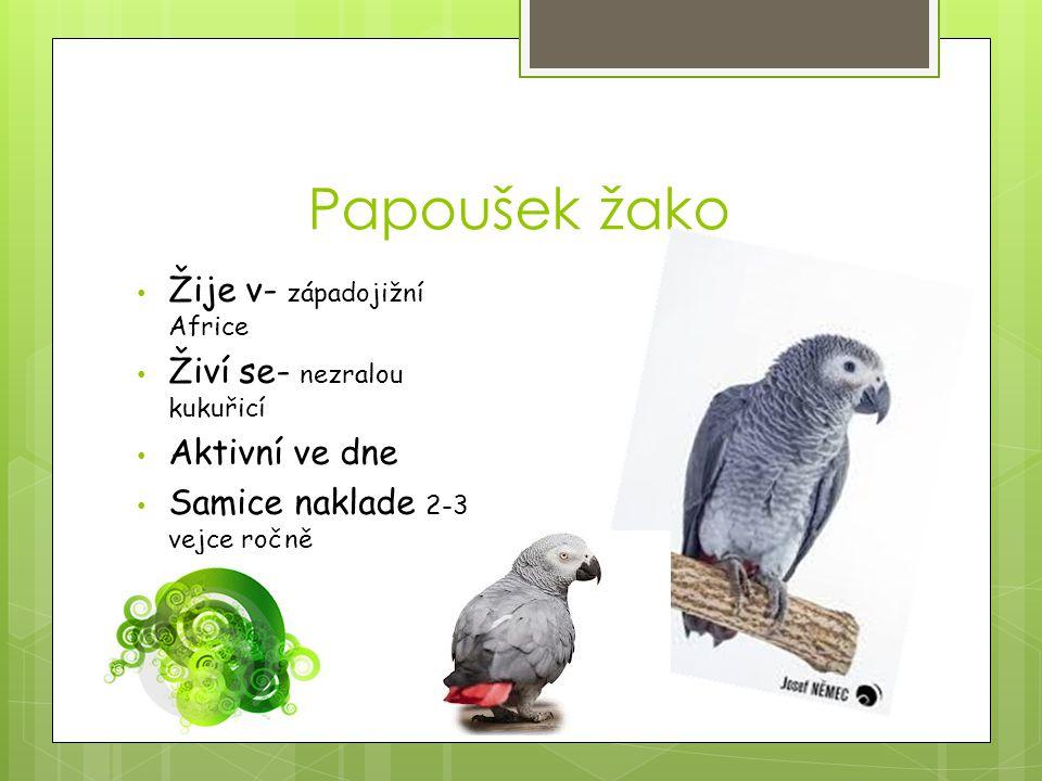 Papoušek žako Žije v- západojižní Africe Živí se- nezralou kukuřicí