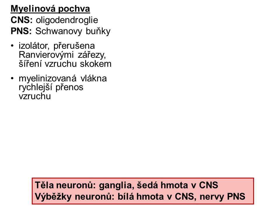 Myelinová pochva CNS: oligodendroglie. PNS: Schwanovy buňky. izolátor, přerušena Ranvierovými zářezy, šíření vzruchu skokem.