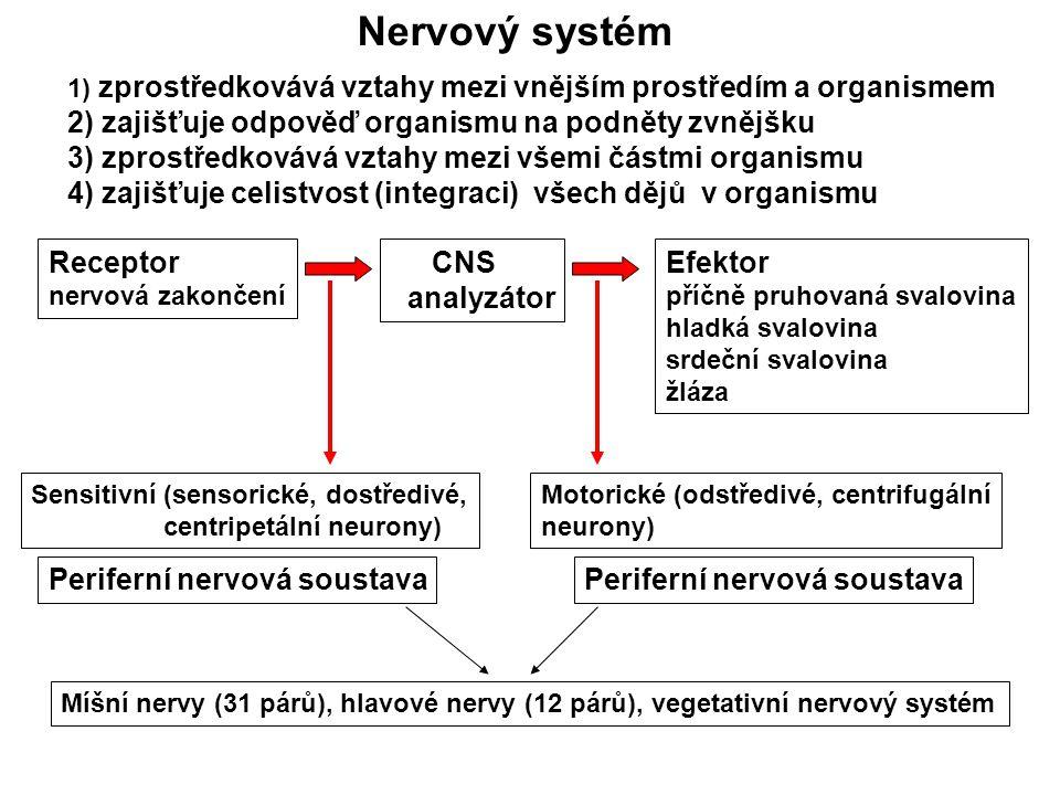 Nervový systém 2) zajišťuje odpověď organismu na podněty zvnějšku