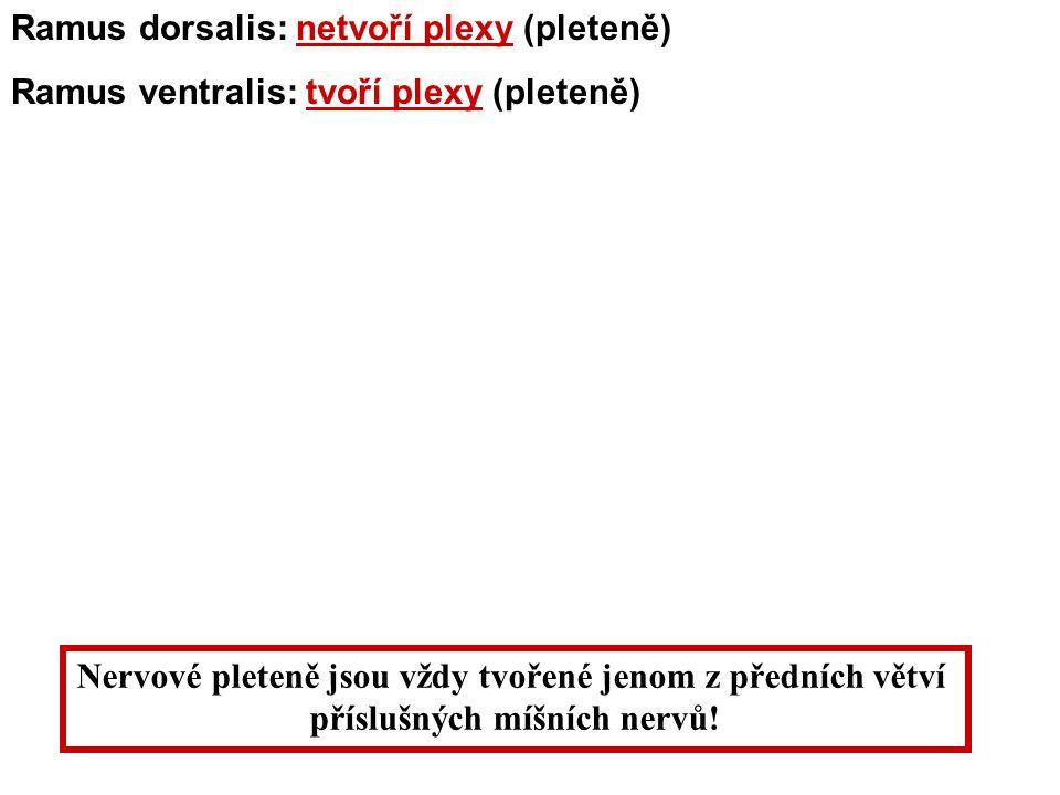 Ramus dorsalis: netvoří plexy (pleteně)