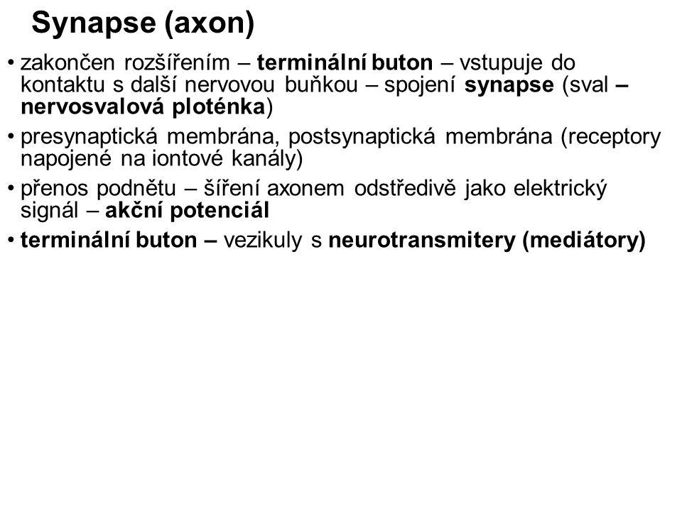 Synapse (axon) zakončen rozšířením – terminální buton – vstupuje do kontaktu s další nervovou buňkou – spojení synapse (sval – nervosvalová ploténka)