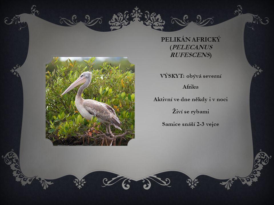 Pelikán africký (Pelecanus rufescens)