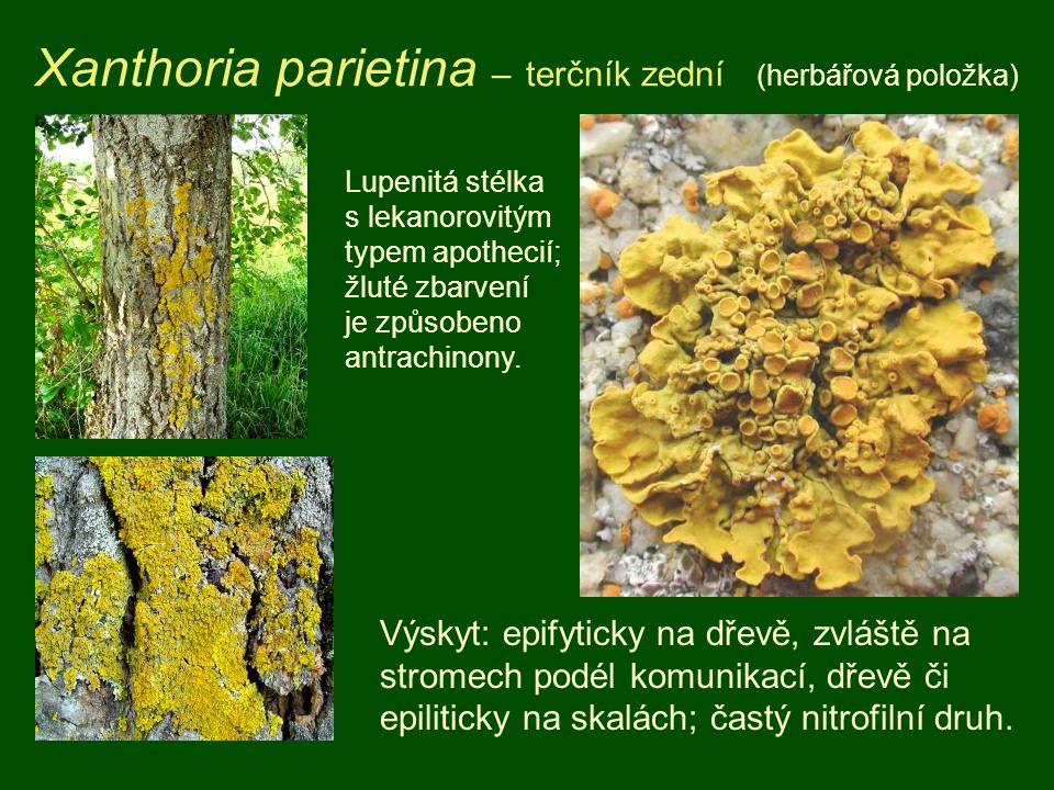 Xanthoria parietina – terčník zední (herbářová položka)