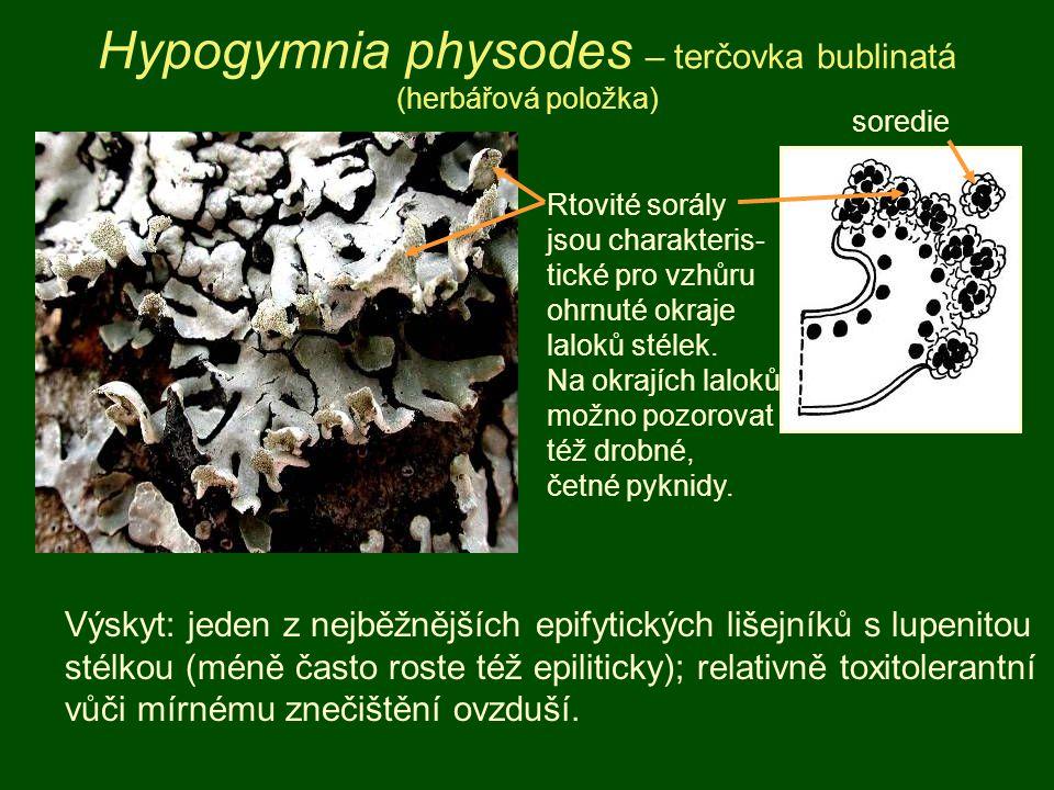 Hypogymnia physodes – terčovka bublinatá (herbářová položka)