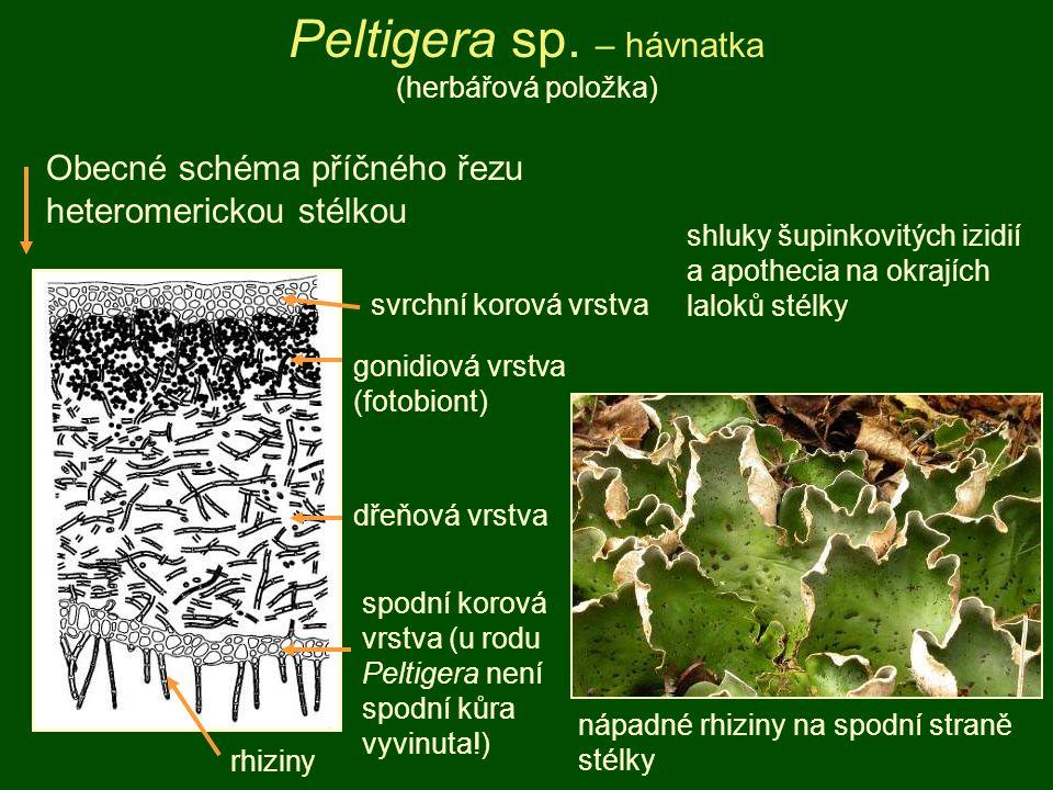 Peltigera sp. – hávnatka