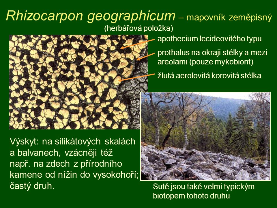 Rhizocarpon geographicum – mapovník zeměpisný (herbářová položka)
