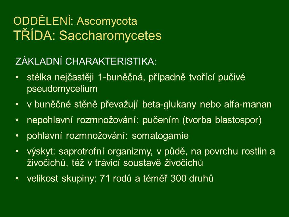 ODDĚLENÍ: Ascomycota TŘÍDA: Saccharomycetes
