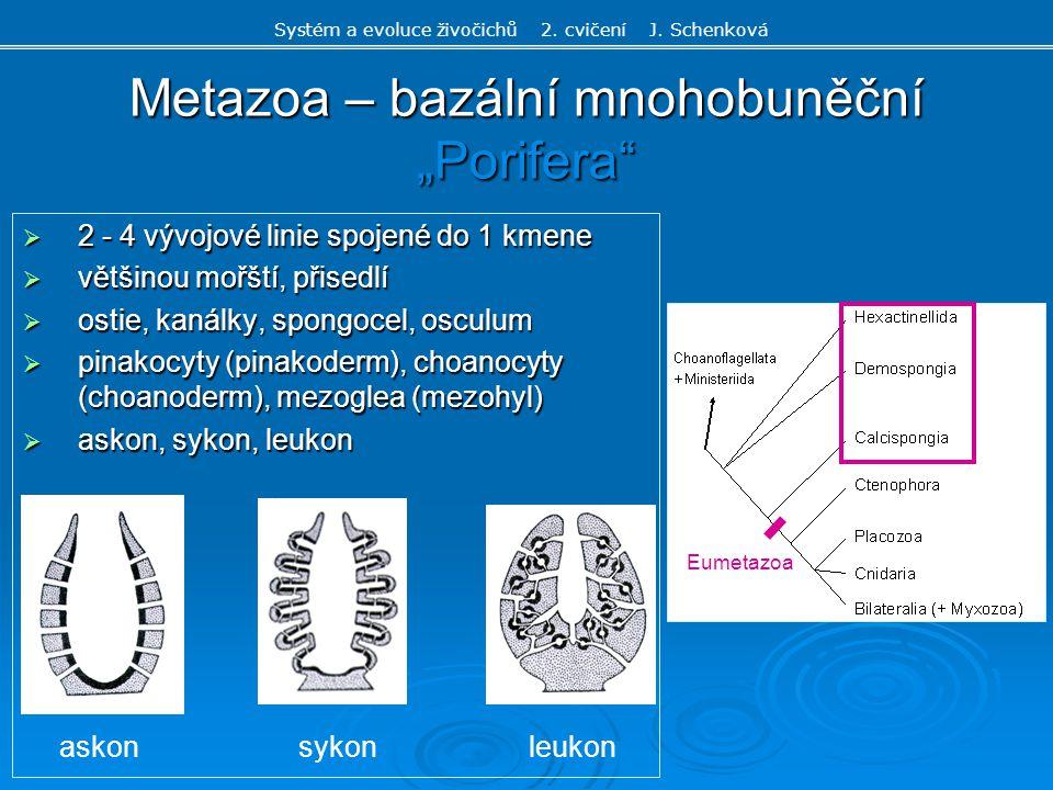 """Metazoa – bazální mnohobuněční """"Porifera"""