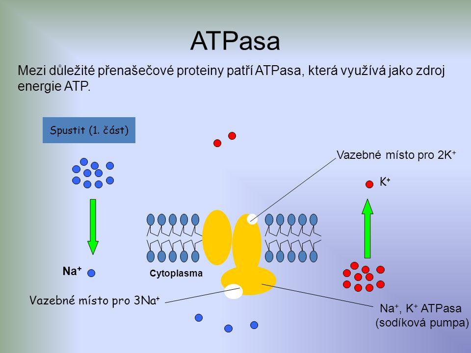 ATPasa Mezi důležité přenašečové proteiny patří ATPasa, která využívá jako zdroj energie ATP. Spustit (1. část)