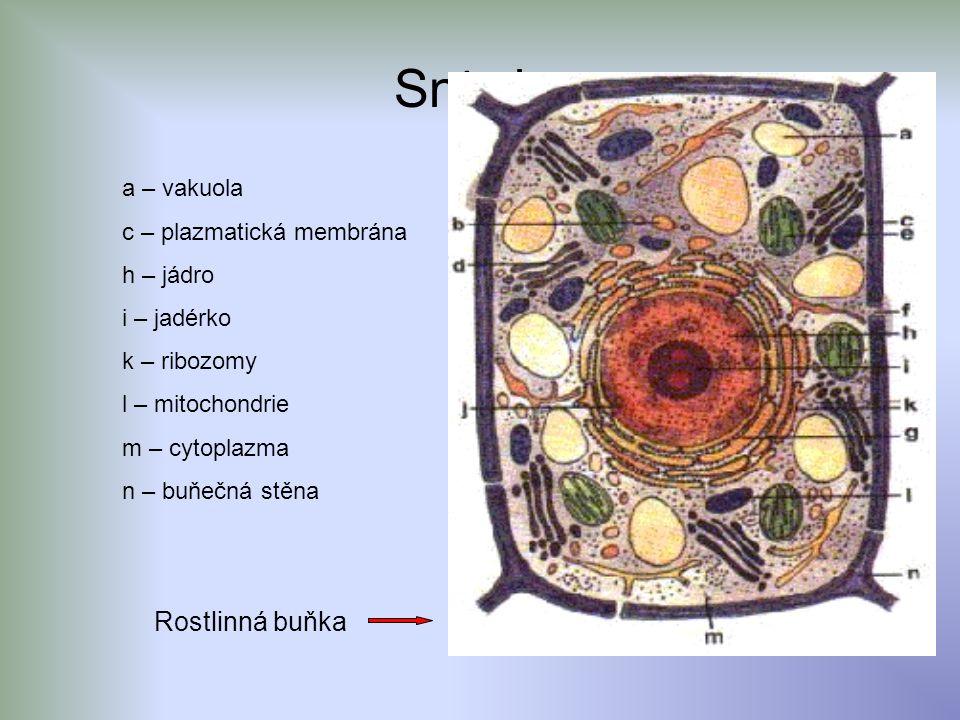 Snímky Rostlinná buňka a – vakuola c – plazmatická membrána h – jádro