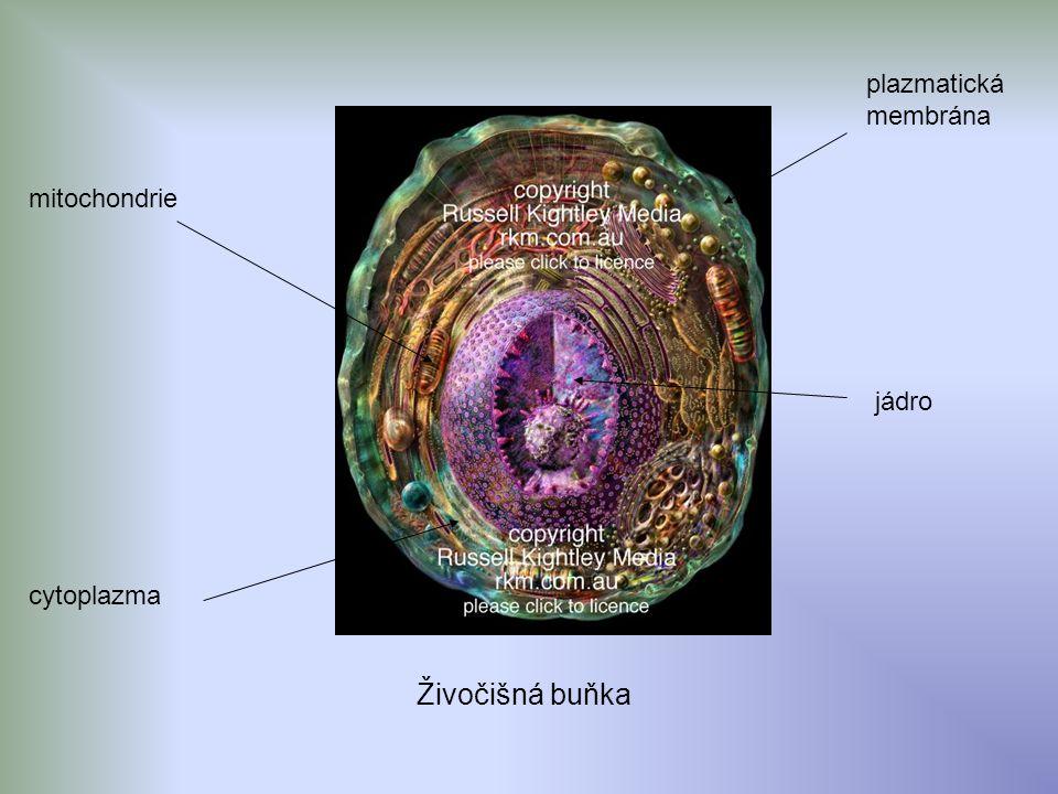 plazmatická membrána mitochondrie jádro cytoplazma Živočišná buňka