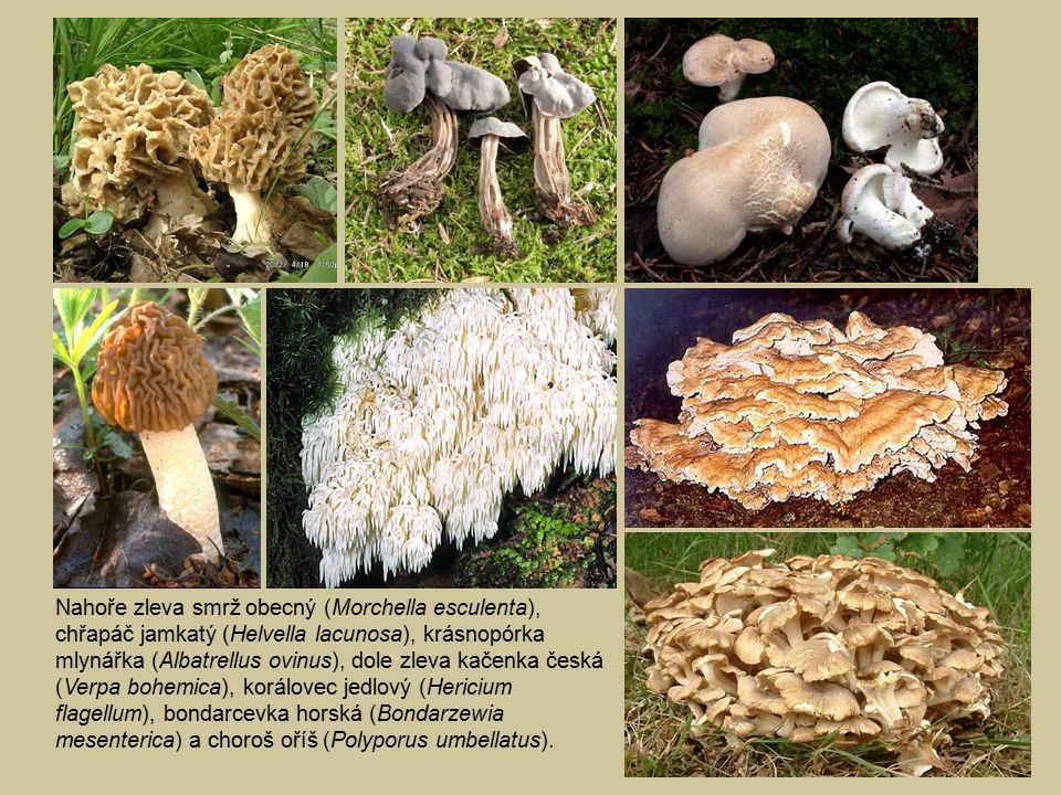 Nahoře zleva smrž obecný (Morchella esculenta), chřapáč jamkatý (Helvella lacunosa), krásnopórka mlynářka (Albatrellus ovinus), dole zleva kačenka česká (Verpa bohemica), korálovec jedlový (Hericium flagellum), bondarcevka horská (Bondarzewia mesenterica) a choroš oříš (Polyporus umbellatus).