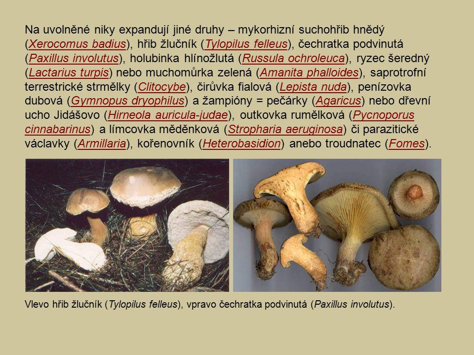 Na uvolněné niky expandují jiné druhy – mykorhizní suchohřib hnědý (Xerocomus badius), hřib žlučník (Tylopilus felleus), čechratka podvinutá (Paxillus involutus), holubinka hlínožlutá (Russula ochroleuca), ryzec šeredný (Lactarius turpis) nebo muchomůrka zelená (Amanita phalloides), saprotrofní terrestrické strmělky (Clitocybe), čirůvka fialová (Lepista nuda), penízovka dubová (Gymnopus dryophilus) a žampióny = pečárky (Agaricus) nebo dřevní ucho Jidášovo (Hirneola auricula-judae), outkovka rumělková (Pycnoporus cinnabarinus) a límcovka měděnková (Stropharia aeruginosa) či parazitické václavky (Armillaria), kořenovník (Heterobasidion) anebo troudnatec (Fomes).