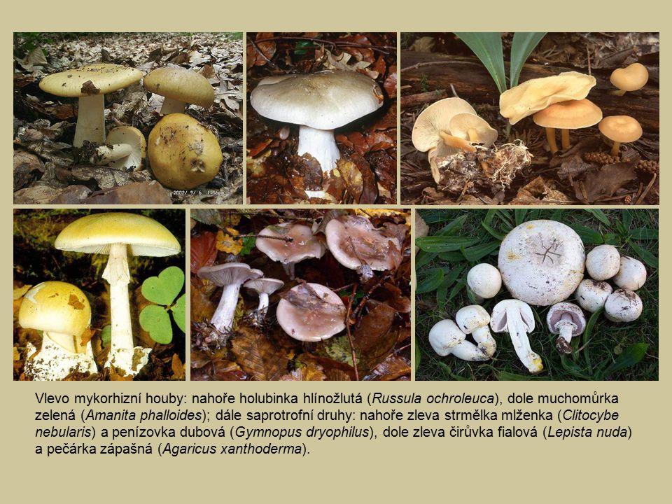 Vlevo mykorhizní houby: nahoře holubinka hlínožlutá (Russula ochroleuca), dole muchomůrka zelená (Amanita phalloides); dále saprotrofní druhy: nahoře zleva strmělka mlženka (Clitocybe nebularis) a penízovka dubová (Gymnopus dryophilus), dole zleva čirůvka fialová (Lepista nuda) a pečárka zápašná (Agaricus xanthoderma).