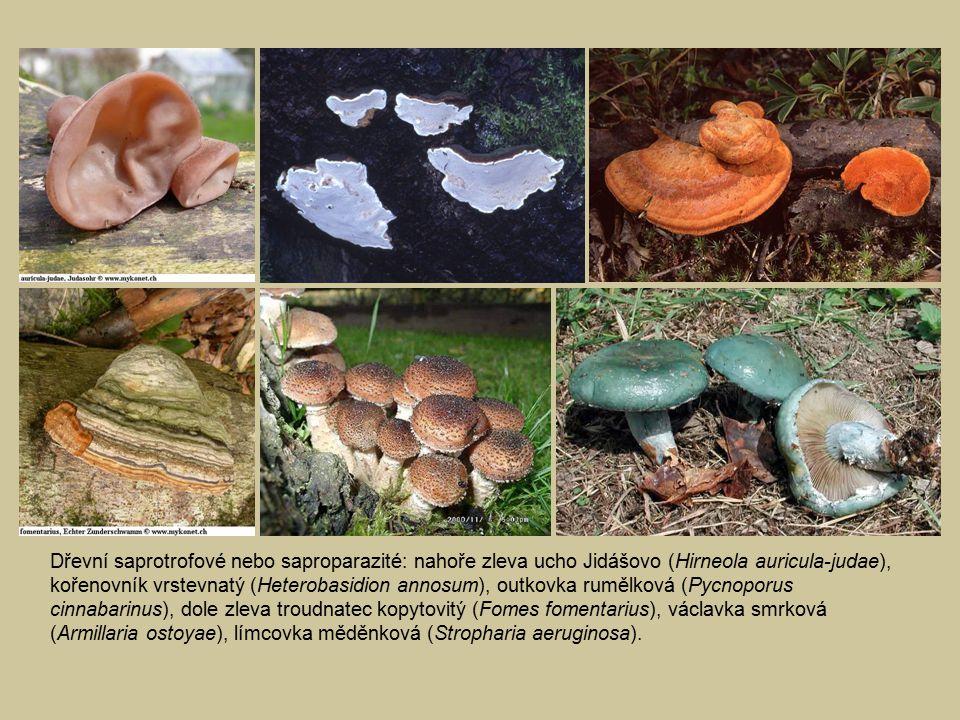 Dřevní saprotrofové nebo saproparazité: nahoře zleva ucho Jidášovo (Hirneola auricula-judae), kořenovník vrstevnatý (Heterobasidion annosum), outkovka rumělková (Pycnoporus cinnabarinus), dole zleva troudnatec kopytovitý (Fomes fomentarius), václavka smrková (Armillaria ostoyae), límcovka měděnková (Stropharia aeruginosa).