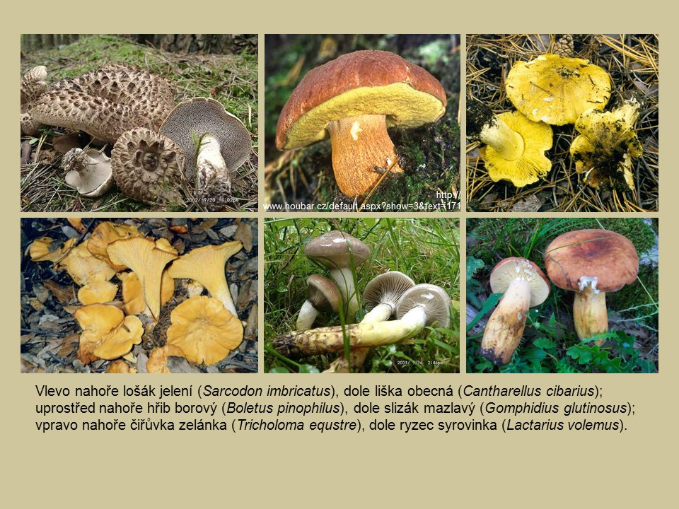 http:// www.houbar.cz/default.aspx show=3&text=171. Vlevo nahoře lošák jelení (Sarcodon imbricatus), dole liška obecná (Cantharellus cibarius);