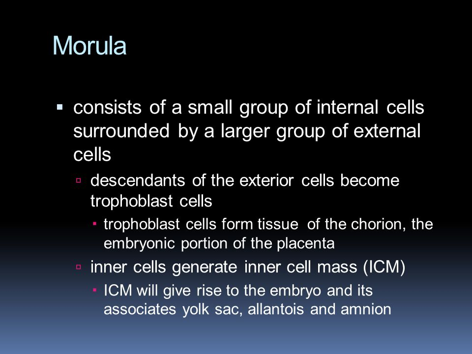Morula consists of a small group of internal cells surrounded by a larger group of external cells.