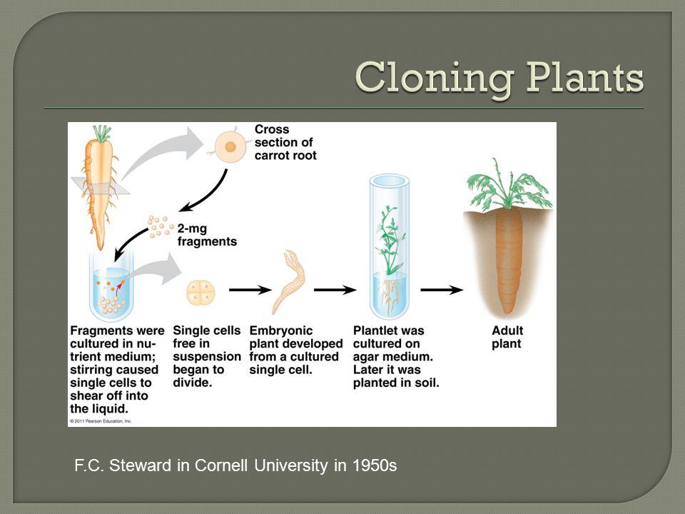 Cloning Plants F.C. Steward in Cornell University in 1950s