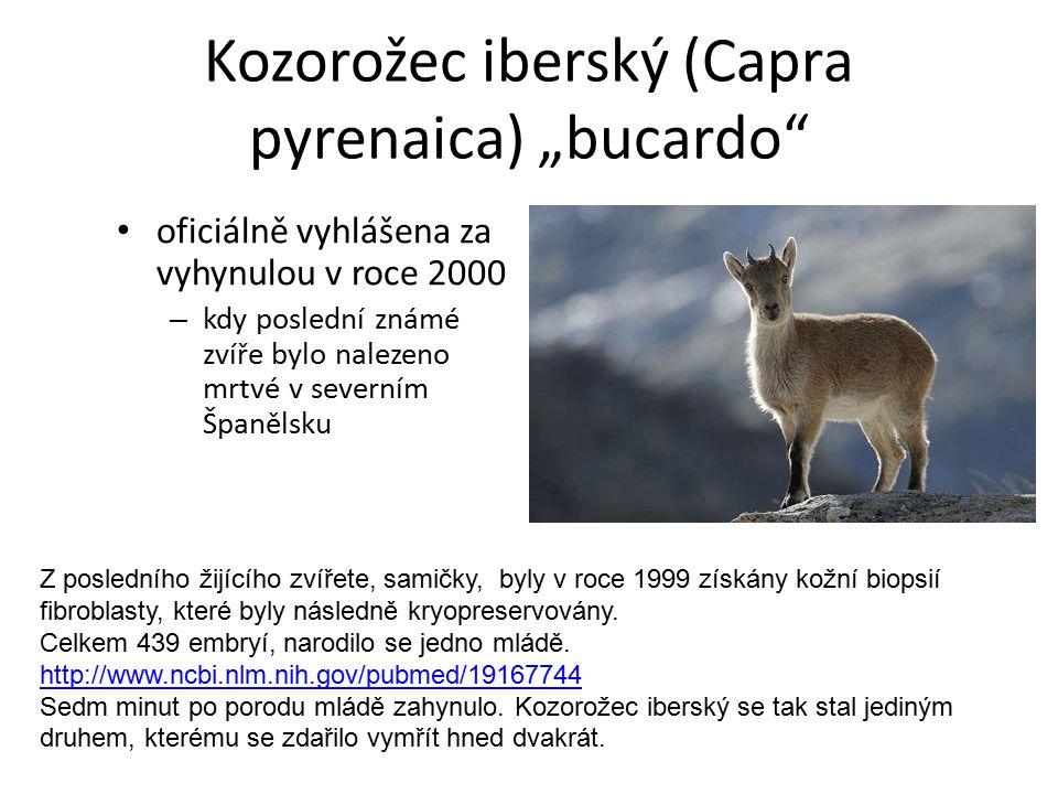 """Kozorožec iberský (Capra pyrenaica) """"bucardo"""