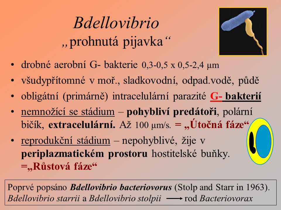 "Bdellovibrio ""prohnutá pijavka"