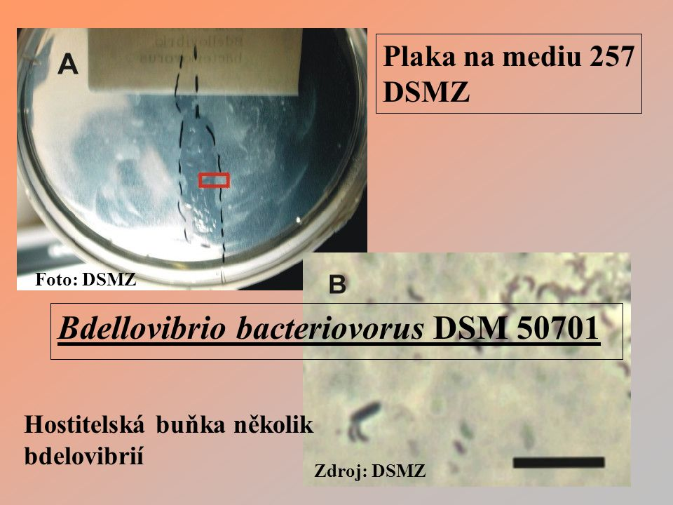 Bdellovibrio bacteriovorus DSM 50701
